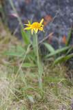 Fjällarnika (Arnica angustifolia)