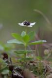Hönsbär (Cornus suecica)