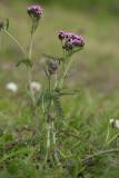 Röllika (Achillea millefolium)