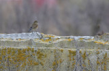 Red-flanked Bluetail (Tarsiger cyanurus)