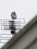 Northern Hawk Owl (Surnia uvula)