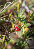 Ripbär (Arctous alpina)