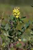 Isvedel (Astragalus frigidus)