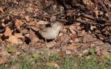 Asian Desert Warbler (Sylvia nana)