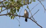 Arabian Warbler (Sylvia leucomelaena)