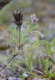 Luddvedel (Oxytropis pilosa)