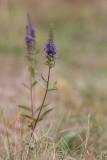 Axveronika (Veronica spicata)