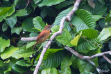Thamnophilidae -Antbirds
