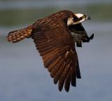 Osprey of Reelfoot Lake