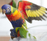 Young Rainbow lorikeets