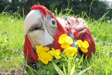 Layla my greenwing macaw baby