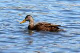 American Black Duck 2007-03-03