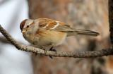 American Tree Sparrow 2013-01-02