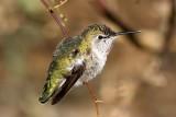 Anna's Hummingbird 2007-01-15