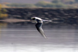 Arctic Tern 2011-10-19