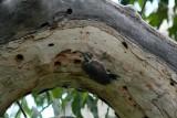 Arizona Woodpecker 2005-08-15
