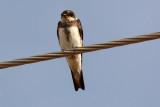 Bank Swallow 2012-08-22