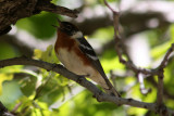 Bay-breasted Warbler 2011-05-27