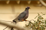 Band-tailed Pigeon 2008-10-10