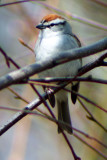 Chipping Sparrow 2008-04-23