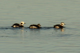 Long-tailed Duck 2008-11-16