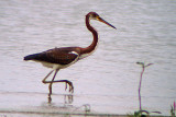 Tricolored Heron 2008-08-08