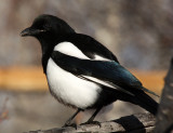 Black-billed Magpie 2012-11-07
