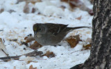 Golden-crowned Sparrow 2012-11-12