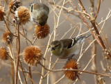 American Goldfinch 2012-12-18