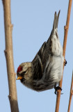 Common Redpoll 2012-12-29