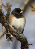 Dark-eyed Junco 2012-12-29