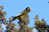 Evening Grosbeak 2012-12-16