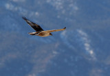 Ferruginous Hawk 2012-12-16