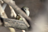 Hammond's Flycatcher 2012-12-16