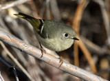 Ruby-crowned Kinglet 2012-12-16