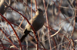 Rusty Blackbird 2012-12-16