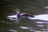 Red-throated Loon 2009-06-08