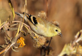 American Goldfinch 2013-10-31