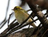 Bay-breasted Warbler 2013-11-09