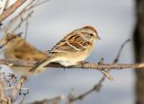 American Tree Sparrow 2013-12-07
