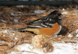 Spotted Towhee 2013-12-07