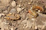 Common Bark Scorpion and Centipede 2014-05-17