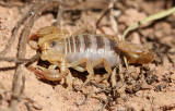 Northern Scorpion 2014-06-07