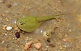Summer Tadpole Shrimp 2014-06-29