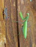 Praying Mantis 2014-08-17