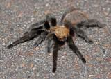 Tarantula 2014-08-30