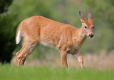 White-tailed Deer 2014-09-13