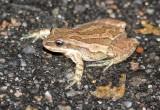 Boreal Chorus Frog 2014-10-09
