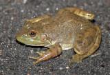 Bullfrog 2014-10-09