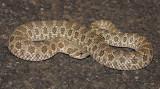 Plains Hog-nosed Snake 2014-09-28
